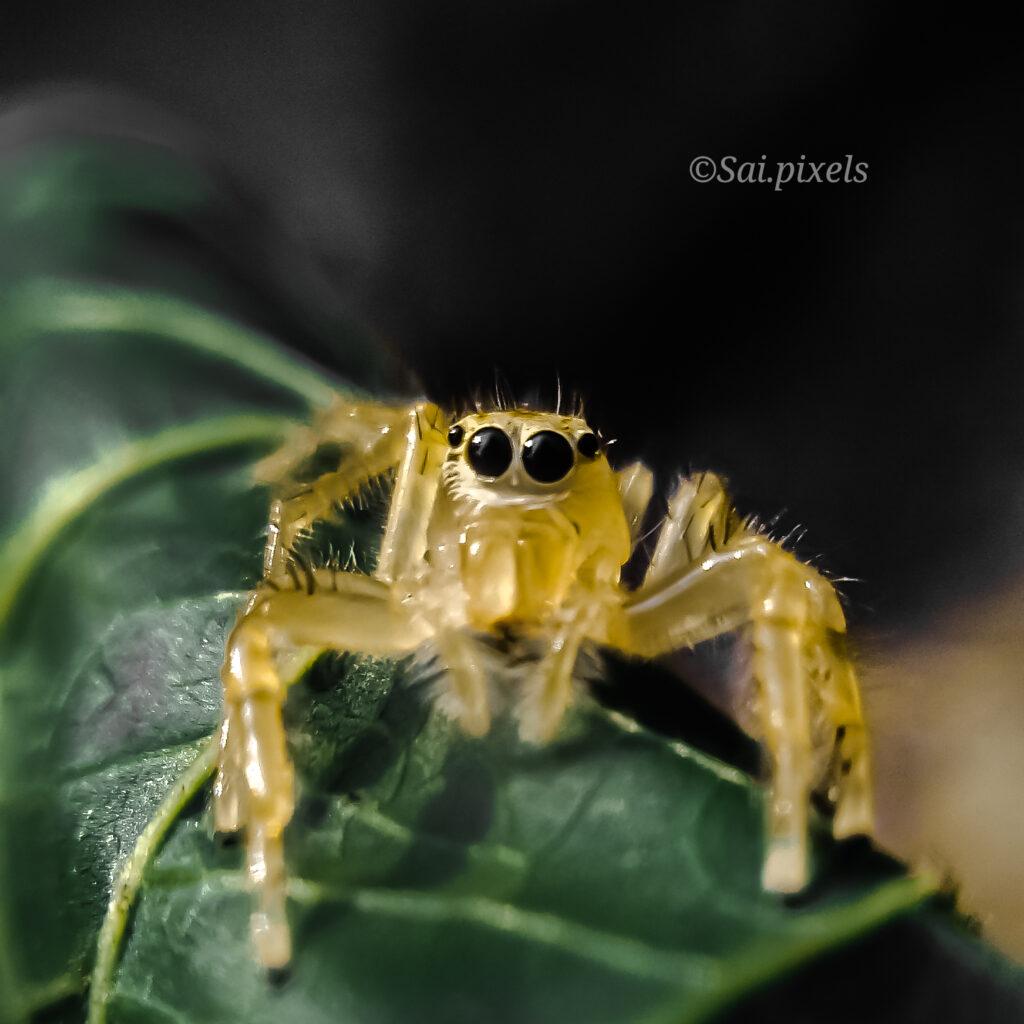 Cute little jumping spider