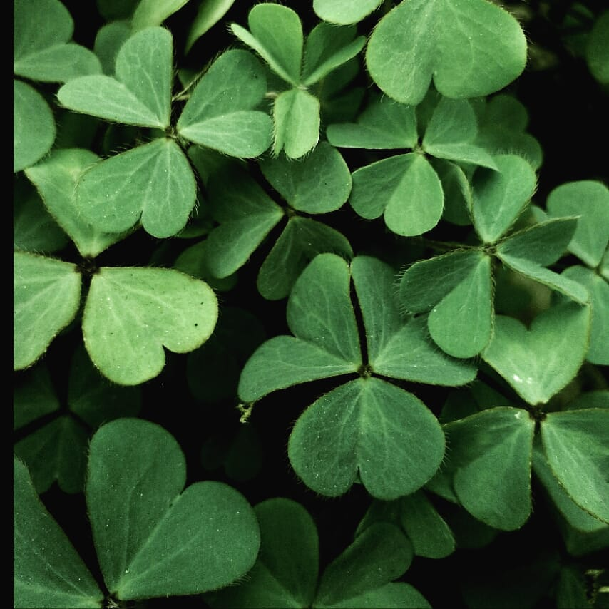 Green heart shaped leaves