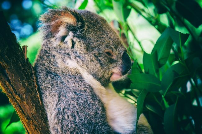 Koala in sleep