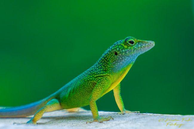 Karsten Fiolka - Lizard in Jamaica