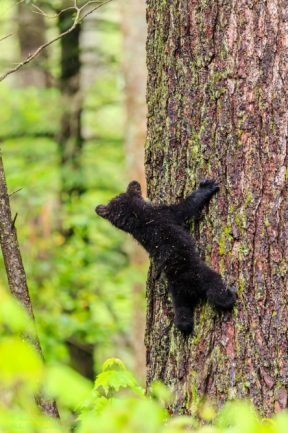 Black Bear Cub looking for mom