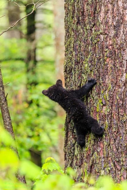 Black Bear Cub looking for mom