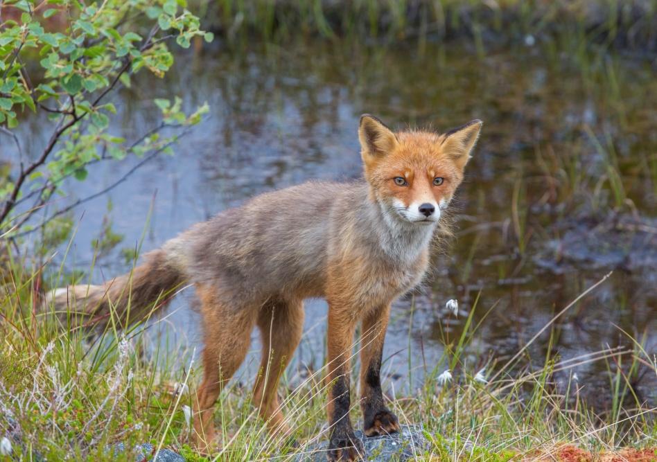 Benny Høynes with a fox